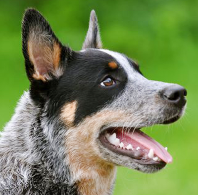 http://www.animalmeet.ru/images/Australian-Cattle-Dog.png