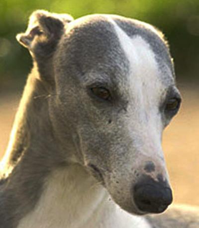 знакомства собак породы уиппет