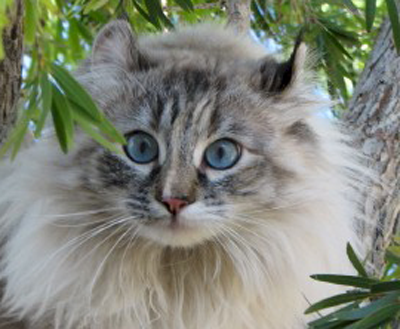 американский кёрл кошка фото цена