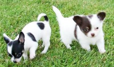 Вакдерм для собак инструкция по применению отзывы цена