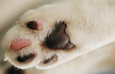 Болит лапа у кота подушечка