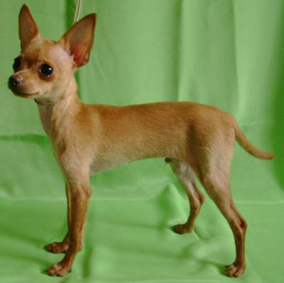 собака гладкошерстный терьер фото