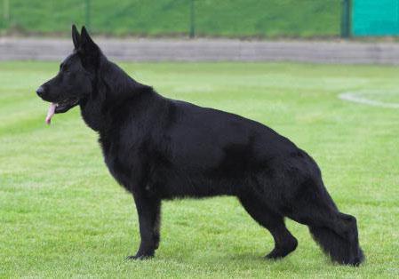 Черная Немецкая овчарка