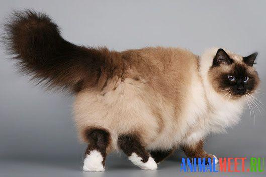 бирманская кошка порода фото