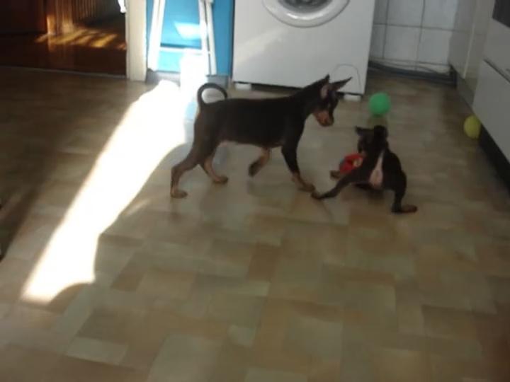 мини собак с проекта видео: